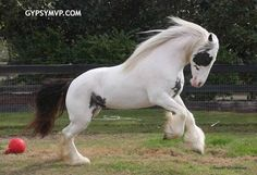 gypsy vanner horse | Gypsy Vanner Horses for Sale | Mare | Piebald | Kindred