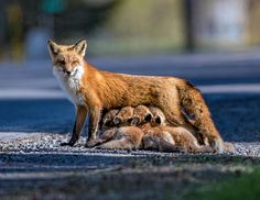 """""""Right Place at the Right Time"""" by Rob Julien: This mother red fox just happened to be nursing her eight kits early one morning on a the side of a rural road as I came upon her."""
