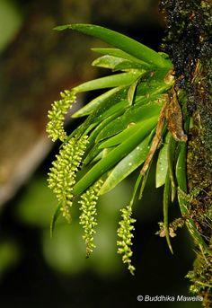 Oberonia wightiana