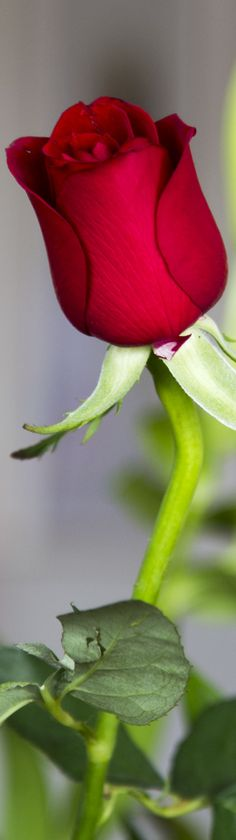 A single red rose via @vanlisana. #roses #romantic