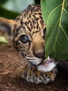 "Cub:  ""What is this leaf exactly?  Not really my taste!"""