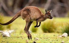 Athletics - long jump    Mike Powell's long jump record of 8.95m is surpassed by the kangaroo, which    can jump around 12m without a run-up.    Where to watch it   On Naturetrek 's    17-day 'Wildlife of Southern Australia' tour you can expect to see    kangaroos, koalas, penguins and parrots.