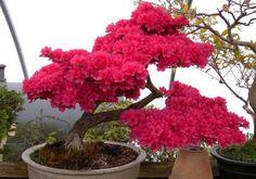 Bonsai - Azaleia