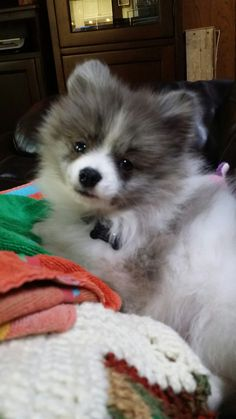 Handsome's baby picture...Blue Merle Irish PartI- Pom.