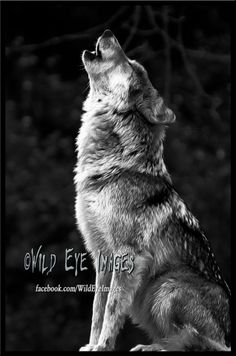by Paul Danaher Beautiful Wolves, Animals Beautiful, Cute Animals, Wolf Photos, Wolf Pictures, Wolf Spirit, Spirit Animal, Wolf Black And White, Wolf Hybrid