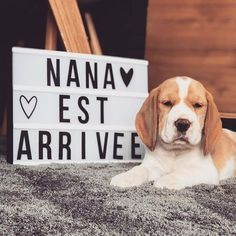 Nana a sorti sa 1ère video youtube sur ma chaîne Est ce que vous l'avez vu ?! _________________________________________________ #babydog #beagle #love #youtube #latelierderoxane #jevousaime #teamgourmandise Beagle, Animals And Pets, Photo S, Youtubers, Cool Stuff, Fans, Star, Rose, Instagram