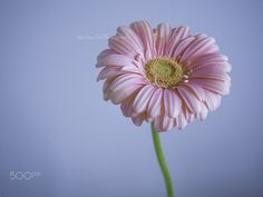 Gerbera Daisy 04 - Pink gerbera daisy with blue background. Featured on 500px ISO : https://iso.500px.com/31-incredibly-captivating-flower-photos-by-wei-san-ooi/?utm_source=500px&utm_medium=social&utm_campaign=apr15_630PM_30-31-incredibly-captivating-flower-photos-by-wei-san-ooi Editors' Choice: https://500px.com/photo/69091379/blossoms-art-04-by-wei-san-ooi- Editors' Choice : https://500px.com/photo/95800977/fern-frost-03-by-wei-san-ooi- www.facebook.com/wsooiphotography