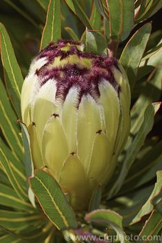 'Moonshine') a green flowered cultivar of th… - Modern Flor Protea, Protea Plant, Protea Flower, Flowers Nature, Exotic Flowers, Amazing Flowers, White Flowers, Beautiful Flowers, Australian Native Flowers