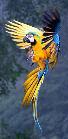Parrot in full flight