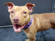 UPDATE♡ SUPER URGENT ♡♡  ^^ a 7 month old baby!!!! ^^  TO BE DESTROYED - 05/21/14 Manhattan Center -P  My name is KENOBI. My Animal ID # is A0998400. I am a male red pit bull mix. The shelter thinks I am about 7 MONTHS old.  I came in the shelter as a STRAY on 05/01/2014 from NY 10460, owner surrender reason stated was ABANDON.