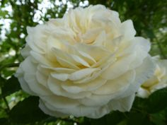 (82) The Friends of Vintage Roses
