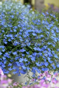 Lobelia erinus is a species of Lobelia native to southern Africa, from Malawi and Namibia south to South Africa.