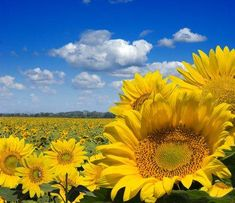 Picture of sunflower field stock photo, images and stock photography. Sunflower Garden, Sunflower Fields, Vincent Willem Van Gogh, Sunflowers And Daisies, Sun Flowers, Watercolor Projects, Good Morning Sunshine, Facebook Image, Eye Art