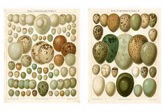 Bird Egg Prints, Pair on OneKingsLane.com
