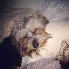 My baby said good morning by stealing my pillow. What a sweet little yorkie.