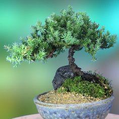 Indoor Flowering Plants, Indoor Bonsai, Bonsai Plants, Bonsai Garden, Bonsai Trees, Wisteria Bonsai, Potted Garden, Mame Bonsai, Plantas Bonsai