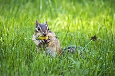 Chipmunk Gathering Nuts by Christina Rollo