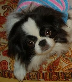 Japanese Chin. I have one, they are wonderful companions.