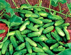 Alibi Cucumber - Makes delicious sweet gherkins! These cukes reach 4 inches long, but pick them smaller for pickling. Maturity 52-55 days. 30 seeds