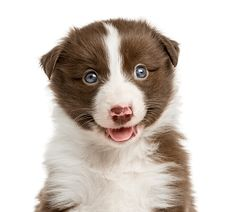 Close-up of a Border Collie puppy weeks old) in front of a white background photo by Lifeonwhite on Envato Elements Red Border Collie, Border Collie Pictures, Border Collie Puppies, Puppy Pictures, Cute Pictures, Cute Puppies, Dogs And Puppies, Beagle Puppy, Puppy Breeds