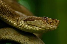 Jeden z nejjedovatějších hadů světa :)