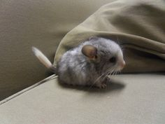 Baby Chinchilla - my son, Ryan and his girlfriend Amber have one of these !!