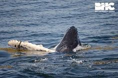 Palette Calf AW 5.7.15 Boston Harbor Cruises Whale Watch on the Stellwagen Bank