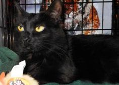 T-Boz is an adoptable Domestic Short Hair Cat in Cumming, GA. Hi, I'm T-Boz, a lovely black, bobtail female DSH born around 2/28/10. I have already raised a litter of kittens in a foster home. Whew! G...