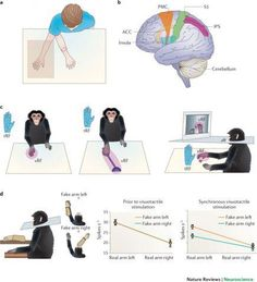 Bodily self-consciousness includes the conscious experience of identifying with the body, of where 'I' am in space, and of the perspective from where 'I' perceive the world. In this intriguing review for Nature Reviews Neuroscience, Olaf Blanke discusses the cortical mechanisms that underlie these experiences, highlighting data from neuroimaging, neurology and virtual reality (Credit: Olaf Blanke) #NPG