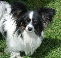 Auzzie (in NV) is an adoptable Papillon Dog in Columbus, OH. My name is Auzzie and I was rescued from the wide open desert along with my brother and sister. I think I am about 3 yrs old and weigh 7 lb...