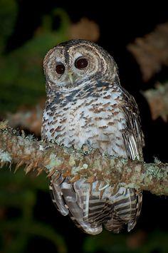 Rusty Barred Owl Source: Flickr / cdtimm
