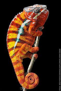 Flame orange chameleon amongst beautiful flowers on love island...L