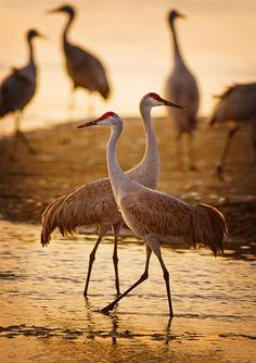 Sandhill cranes preen and oil their feathers in the Platte River, Nebraska, an ideal stopping point for the cranes because the water is shallow with many sandbars.