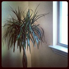 Dr. Seuss plant in the sun room.