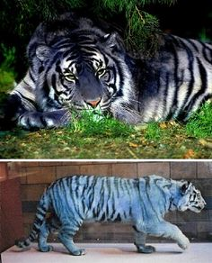 "Wow! Occasionally reported but never officially documented, the Blue or ""Maltese"" Tiger is said to be an exceedingly rare mutation of the South Chinese or Amur Tiger – themselves critically endangered."