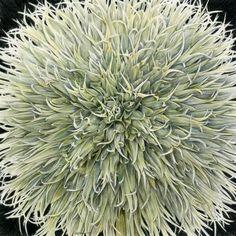 "Mesmerize, White Giant Allium, Allium giganteum, 18x18"", colored pencil on film, Susan Rubin"