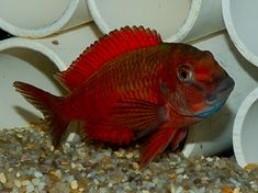 Wild imported Tropheus species in stock for sale. Check other Rare African Cichlid Species from West Africa, Lake Malawi, Lake Victoria, Lake Tanganyika and the Rift Lakes. Tropical Aquarium, Saltwater Aquarium, Tropical Fish, Cichlid Aquarium, Cichlid Fish, Tropical Freshwater Fish, Freshwater Aquarium Fish, Lac Tanganyika, Fish For Sale