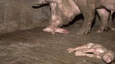 El lado oscuro de las granjas de cerdos.
