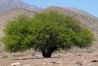 Prosopis chilensis - ALGARROBO