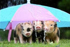 Pig Showing, Friends Hanging Out, Teacup Pigs, Have Good Day, Mini Pigs, Cute Piggies, Baby Pigs, Pig Birthday, This Little Piggy