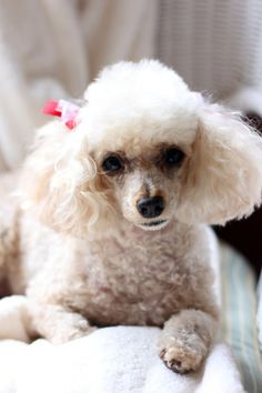 Little Byrd the poodle.