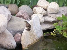 Pond frog   Anita Wilcox   Flickr