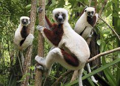 leaping lemurs - so sweet