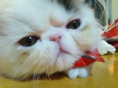 かわいいコキチ。