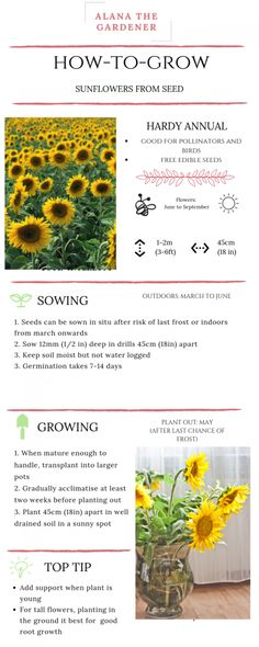 Sunflowers From Seed - Alana The Gardener How to sow and grow sunflowers from seed.How to sow and grow sunflowers from seed. Growing Sunflowers From Seed, Planting Sunflowers, How To Plant Sunflowers, Growing Sunflowers Outdoors, Planting Sunflower Seeds, Eco Garden, Garden Types, Sunflower Garden, Horticulture