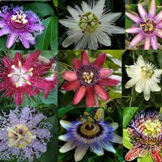 A variety of passion flowers