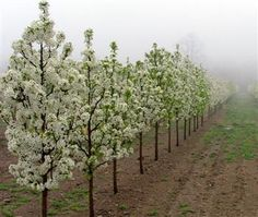 How deep to dig for a new flowering pear tree? - Gardening ...