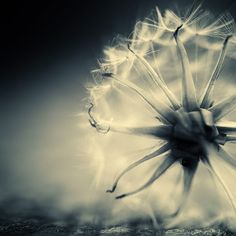 BEAUTIFUL! I don't know what it is but there is something about dandelions I just love.