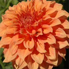 """CLYDE'S CHOICE (AAFD) Introduced in 1989. Huge 12"""" blooms of bronze orange. This variety is a leader in its class for exhibition. Bush heigh..."""