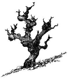 Image result for old vine